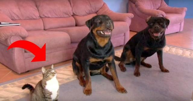 Самая надрессированая кошка в мире (видео)